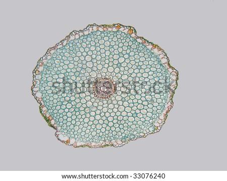 Allium Tuberosum Monocot Root Cross Section Stockfoto (Jetzt ...