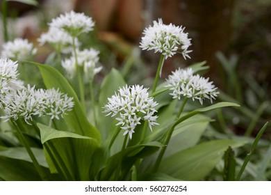 Allium ursinum, flowers