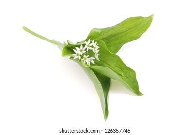 Allium ursinum - Fresh blooming Ramson on white background