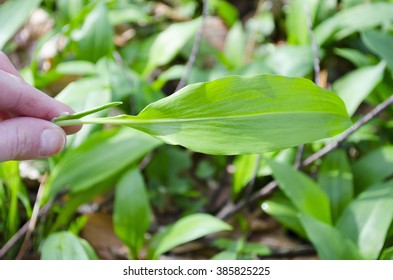 Allium ursinum â?? known as ramsons, buckrams, wild garlic, broad-leaved garlic, wood garlic, bear leek
