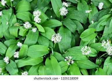 Allium ursinum or ramsons with top view and full frame