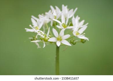Allium ursinum springtime flowers detail