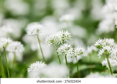 Allium ursinum , wild garlic, broad-leaved garlic, wood garlic, bear leek ,  meadow full of bear's garlic,