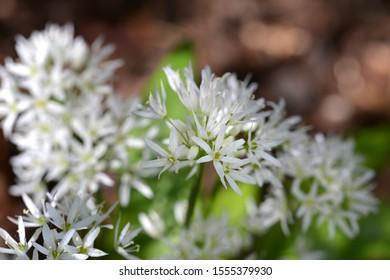 Allium ursinum, wild garlic in wald. Flowers.