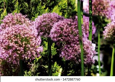 Allium. Violet decoration onion alliums background. Allium cols-up image.