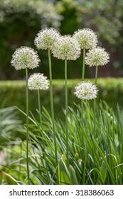 Alliums, giant ornamental onions in full bloom.