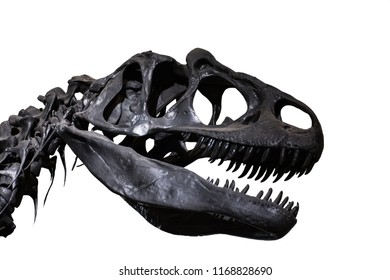 Allosaurus' skull on white background