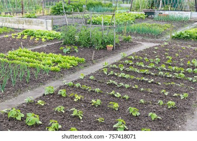 Allotment garden in early spring with potatoes and onions