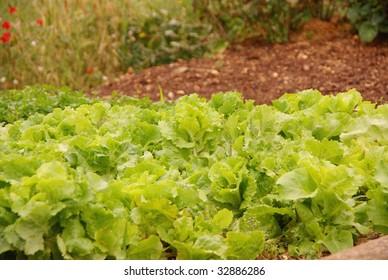 An allotment garden with green salad