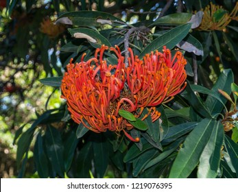Alloxylon flammeum, commonly known as the Queensland tree waratah or red silky oak with its red blooming flower in a spring season at a botanical garden.