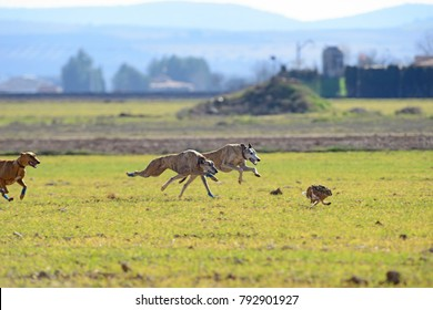 Almagro, Spain, - January 22, 2017: Greyhounds chasing a hare.