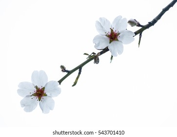 Almends flower