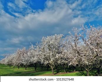 Almond bloom in spring in Durham, California