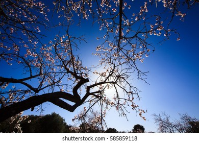 Almond blossom, blue sky and flowers, spring, Spain