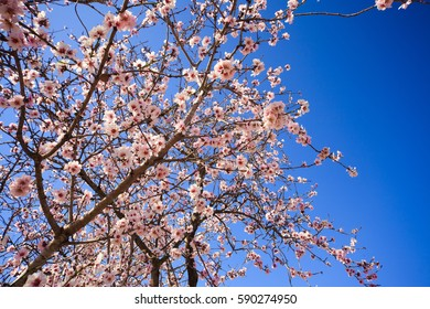 Almond blossom, blue sky and flowers, spring