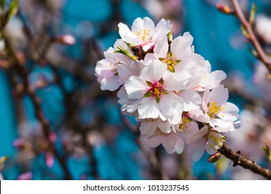 almond blossom branch, blue sky background
