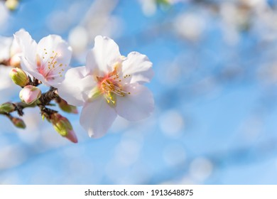 Almond blossom in early spring, close-up. Blurred soft blue background. Copy space.