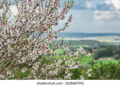 almond blossom, Majorca, Balearic Islands, Spain, Europe