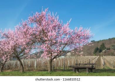Almond blossom in Neustadt an der Weinstrasse,Rhineland-Palatinate,Germany