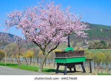 Almond Blossom in Palatinate at german Wine Road near Neustadt an der Weinstrasse,Germany