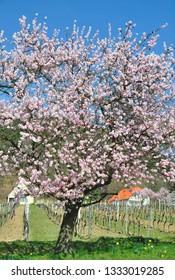 Almond blossom in Palatinate near Neustadt an der Weinstrasse,Germany