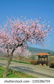 Almond blossom in Palatinate near Neustadt an der Weinstrasse,german Wine Road,Germany