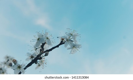 The Almond blossom in spring