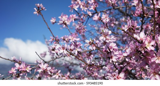 Almond blossom. Spring background. Spain. Altea