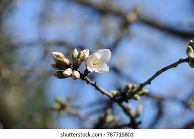Almond Blossom from the almond tree, Costa Blanca, Spain