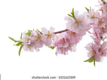 almond blossoms isolated on white background