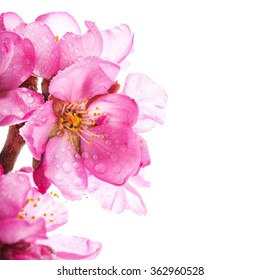 Almond blossoms. almond tree pink flowers close-up with branch with drops of water  isolated on white background.