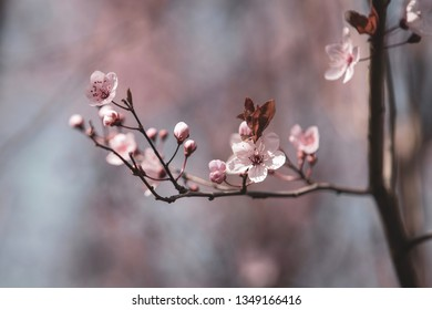 Almond blossoms with tree separated from the background