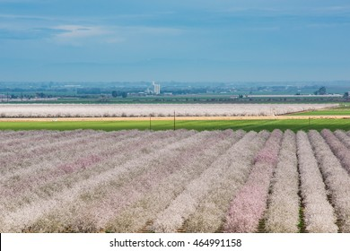 Almond Farm blooming in northern California with many trees with pink blossoms in spring