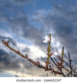 Almond Flower in bloom with cloudy sky in the background. Stock Image.