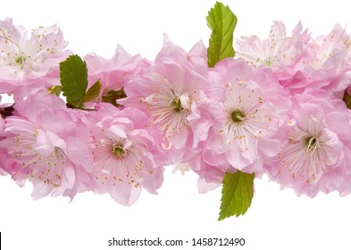 Almond flower isolated. Tree branch with pink flowers and green leaves on white background, close-up