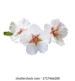 Almond flowers isolated on white