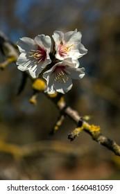 Flores de almendra en una rama de árbol