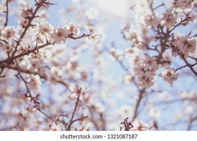 Almond flowers were blooming in late February 2019 in Lodi, California