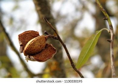 almond nut on a tree