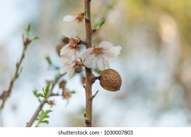 Almond on blossom almond tree