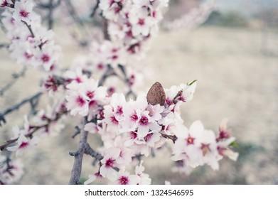 Almond on almond tree branch
