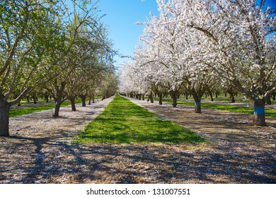 Almond orchard in full bloom