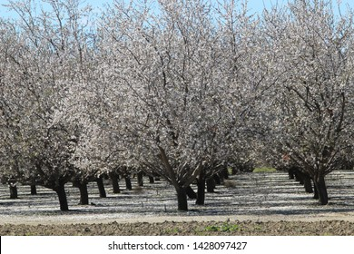Almond Orchard in San Joaquin Valley, California.
