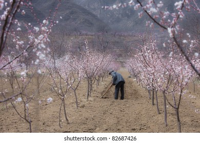 Almond Orchard in Spring