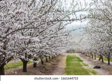 Almond orchards in Williams California.