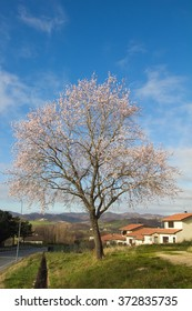 Almond plant with flowers in the spring season.