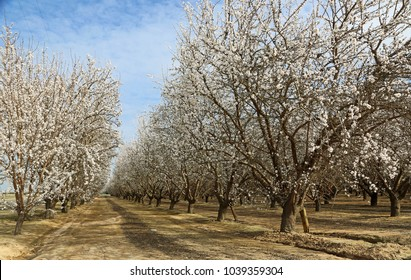 Almond plantation - Blossom Trail, Fresno county, California