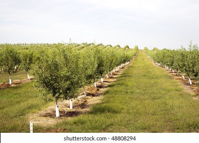 almond plantation in California, USA