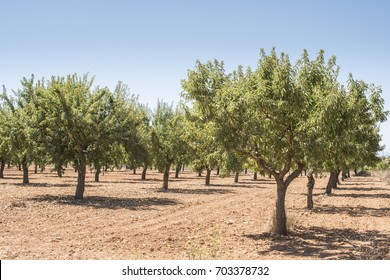 Almond plantation trees in a row.