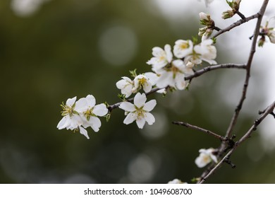 Almond and plum blossom in the parks of Madrid